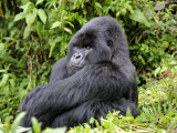 Male Silverback Mountain Gorilla Sitting, Watching, Volcanoes National Park, Rwanda, Africa Photographic Print by Eric Baccega