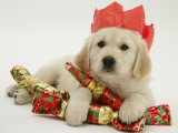 Golden Retriever Puppy with Christmas Crackers Wearing Paper Hat Photographic Print by Jane Burton