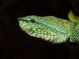 Temple Wagler's Pit Viper Bako National Park, Sarawak, Borneo Posters by Tony Heald