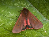 Ruby Tiger Moth Showing Underwing, Hertforshire, England, UK Photographic Print by Andy Sands
