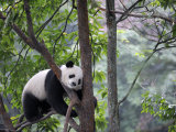 Giant Panda Climbing in a Tree Bifengxia Giant Panda Breeding and Conservation Center, China Photographic Print by Eric Baccega