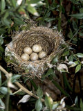 Blackcap Nest with Five Eggs, Hampshire, England, UK Posters by Andy Sands