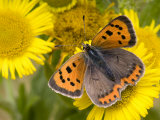 Small Copper Butterfly on Fleabane Flower, Hertfordshire, England, UK Photographic Print by Andy Sands