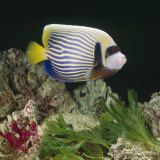 Emperor Angelfish Captive, from Indo-Pacific Photographic Print by Jane Burton