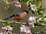 Bullfinch Male Perched Among Apple Blossom, Buckinghamshire, England, UK Photographic Print by Andy Sands