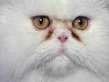 White Persian Cat, Close Up of Face Photographic Print by Adriano Bacchella