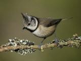 Crested Tit Perched on Lichen Covered Twig, Cairngorms, Scotland Photographic Print by Andy Sands