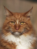 Maine Coon Red Tabby Cat, Portrait Photographic Print by Adriano Bacchella