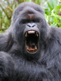 Male Silverback Mountain Gorilla Yawning, Volcanoes National Park, Rwanda, Africa Photographic Print by Eric Baccega
