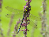 Southern Hawker Dragonfly Resting on Purple Loosestrife Flower, Hertfordshire, England, UK Photo by Andy Sands