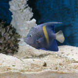 Yellowbar Purplemoon Angelfish Captive Photographic Print by Jane Burton