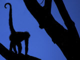 Silhouette of Black-Handed Spider Monkey Standing in Tree, Costa Rica Photographic Print by Edwin Giesbers