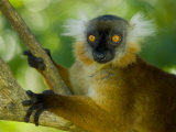 Black Lemur Female, Nosy Komba, North Madagascar, Iucn Vulnerable Photo by Inaki Relanzon