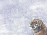 Siberian Tiger Looking Up in Snow Posters by Edwin Giesbers