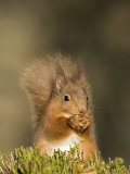 Red Squirrel Feeding, Cairngorms, Scotland, UK Photographic Print by Andy Sands
