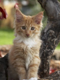 Maine Coon Red Tabby Cat Kitten, Three-Months Photographic Print by Adriano Bacchella