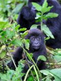 Young Mountain Gorilla Sitting, Volcanoes National Park, Rwanda, Africa Fotografisk tryk af Eric Baccega