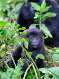 Young Mountain Gorilla Sitting, Volcanoes National Park, Rwanda, Africa Photographic Print by Eric Baccega