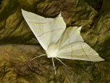 Swallowtail Moth Hertfordshire, England, UK Photographic Print by Andy Sands