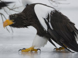 Steller's Sea Eagle Walking over Ice, Kuril Lake, Kamchatka, Far East Russia Posters by Igor Shpilenok