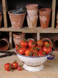 Freshly Picked Home Grown Tomatoes in Kitchen Colander in Rustic Potting Shed Setting, UK Posters by Gary Smith