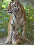Siberian Tiger Mother with Young Cub Resting Between Her Legs Posters by Edwin Giesbers