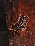 Trilobite Beetle Larva, Female, Mount Kinabalu, Sabah, Borneo Photographic Print by Tony Heald