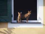 Young Somali Cat and Abyssinian Cat Sitting on Window Ledge, Italy Posters by Adriano Bacchella
