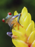 Red Eyed Tree Frog on Heliconia Flower, Costa Rica Photographic Print by Edwin Giesbers