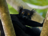 Black Lemur Male, Nosy Komba, North Madagascar, Iucn Vulnerable Photographic Print by Inaki Relanzon