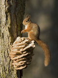 Red Squirrel on Bracket Fungus, Cairngorms, Scotland, UK Photographic Print by Andy Sands