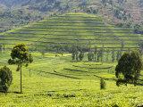 Tea Plantation Near Nyunguwe, Rwanda, Africa Photographic Print by Eric Baccega