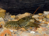 White Clawed Crayfish West Sussex, England, UK Photographic Print by Andy Sands