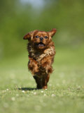 Cavalier King Charles Spaniel, Ruby, 10 Month, Running Fast in Garden Photographic Print by Petra Wegner