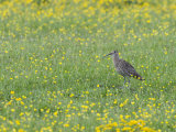 Curlew in Buttercup Meadow, Upper Teesdale, Co Durham, England, UK Posters by Andy Sands