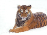 Siberian Tiger in Snow Posters by Edwin Giesbers
