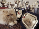 Persian Cream Cat Surounded by Trophies Photographic Print by Adriano Bacchella