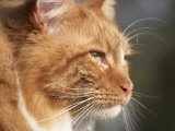 Maine Coon Red Tabby Cat, Portrait Photo by Adriano Bacchella