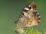 Speckled Wood Butterfly Resting on Fern, UK Photographic Print by Andy Sands