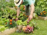 Gardener Harvesting Summer Vegetables from Raised Bed Vegetable Plots, UK Posters by Gary Smith