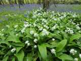 Wild Garlic Ramsons Among Bluebells in Spring Woodland, Lanhydrock, Cornwall, UK Photographic Print by Ross Hoddinott