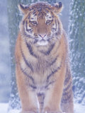 Siberian Tiger in Snow Storm Posters by Edwin Giesbers