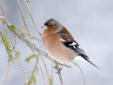 Chaffinch Perched in Pine Tree, Scotland, UK Photographic Print by Andy Sands
