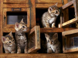 Four Bengal Kittens Playing in Wooden Boxes Photographic Print by Adriano Bacchella