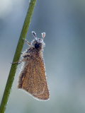 Small Skipper Covered in Dew, Hertfordshire, England, UK Photographic Print by Andy Sands