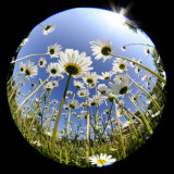 Oxeye Daisy Veiwed Through Fish-Eye Lens, Devon, UK, June 08 Photographic Print by Ross Hoddinott