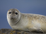 Common Seal on Rock, South Iceland Photographic Print by Inaki Relanzon