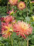 Dahlia Flowers, Mish Mash Variety Flowering in Summer, UK Photographic Print by Gary Smith