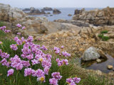 Thrift Sea Pink in Flower Among Rocks at Plougrescant, Brittany, France Photographic Print by Philippe Clement
