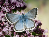 Chalkhill Blue Butterfly Male Feeding on Flowers of Marjoram, UK Posters by Andy Sands
